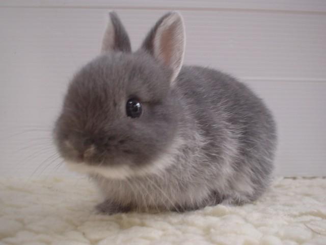 Fluffy_bunny