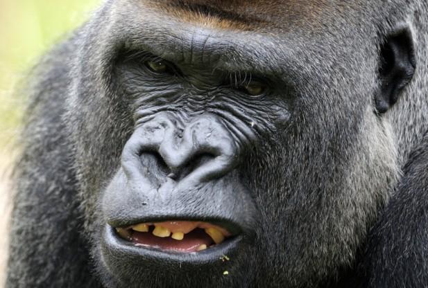 Gorilla-male-136242230-617x416